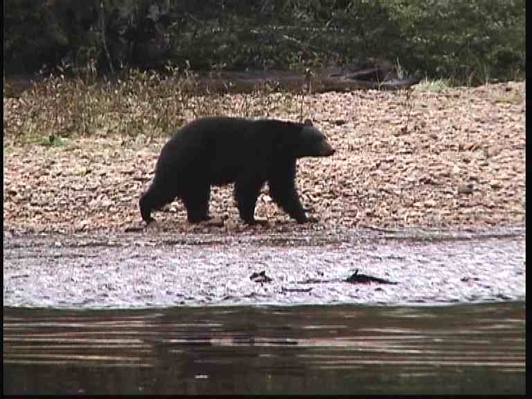 Black Bear on River
