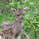 Black Tail Deer Fawn