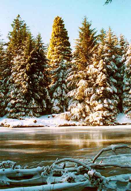 Golden Spruce Winter 1995